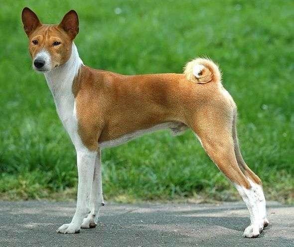 Basenji o Perro del Congo