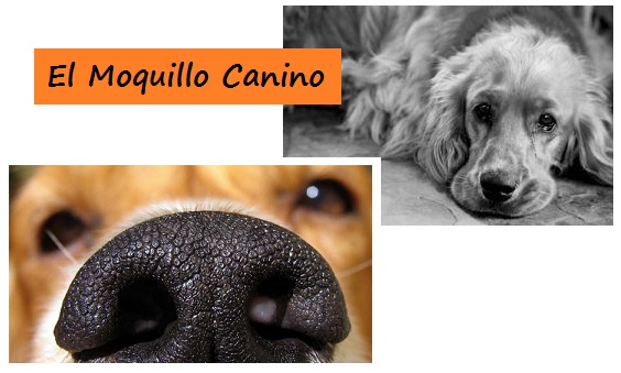 Sintomas Moquillo Canino