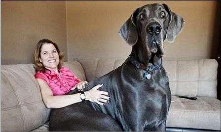 razas perros gigantes
