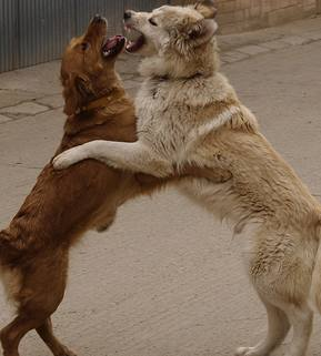 Pelea de perros