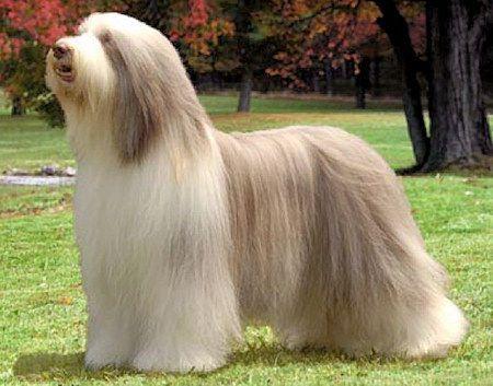 Bearded Collie-perros costosos-razas-pedigree-caros