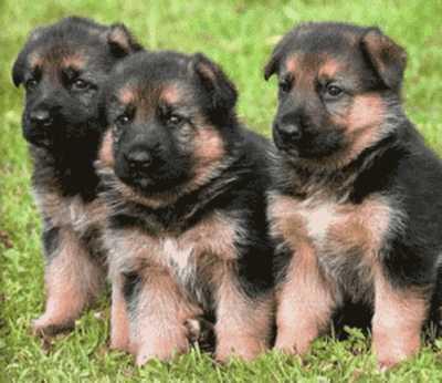 fotos perros pastor aleman