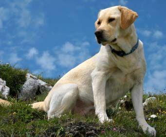 perros-de-caza-labrador-retriever