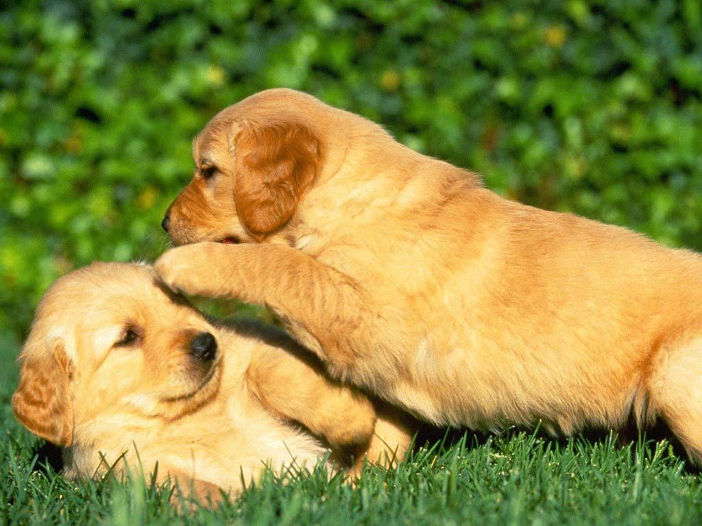 fondos-cachorros-perros