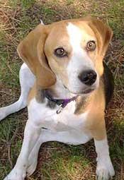 perro_beagle
