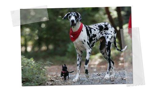 Gibson, el perro más grande del mundo 1