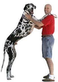 Gibson, el perro más grande del mundo 2