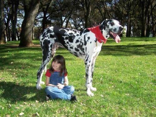 Gibson, el perro más grande del mundo 4