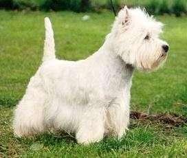 El West Highland White Terrier – Westie – Westy
