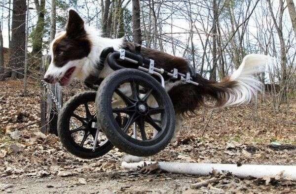Medir a mi perro para usar silla de ruedas