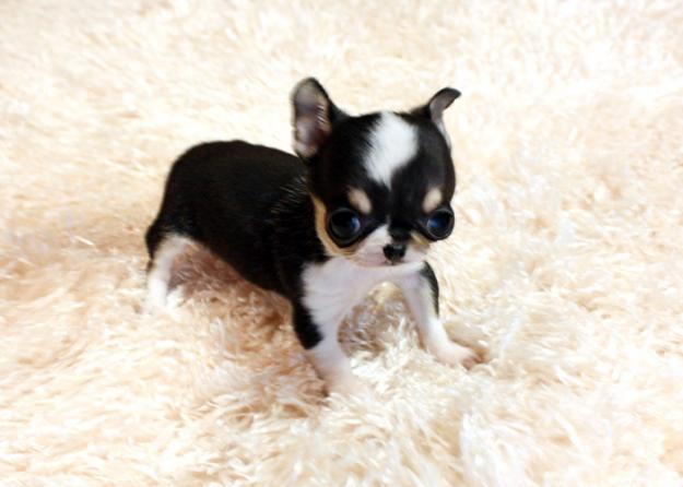 1297856200_167641226_1-Fotos-de–Chihuahua-perros-par-adopcion-libre