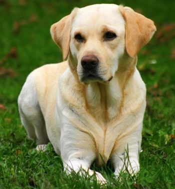 labrador-perros-labradores