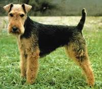 welshterrier-j42j