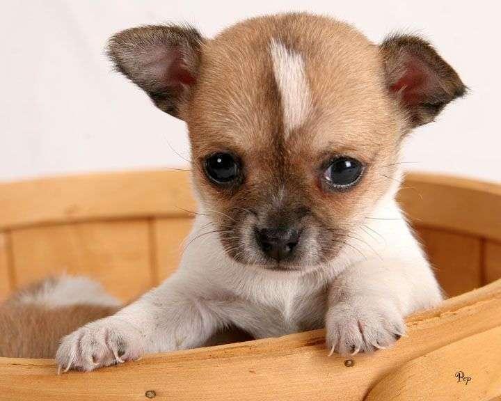 El-comportamiento-de-un-Chihuahua2