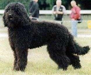 perro de aguas barbet