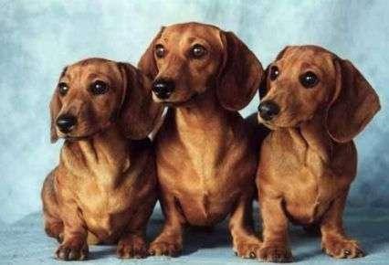 perros-dachshund