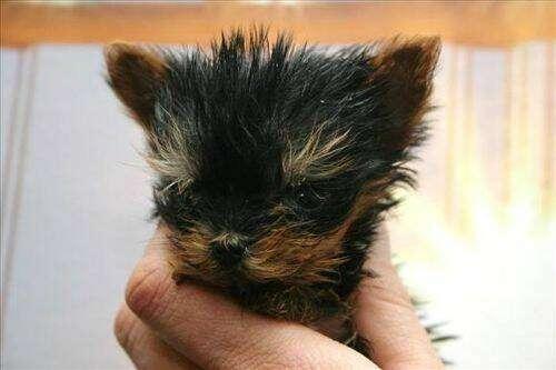 perro mas pequeño del mundo 2