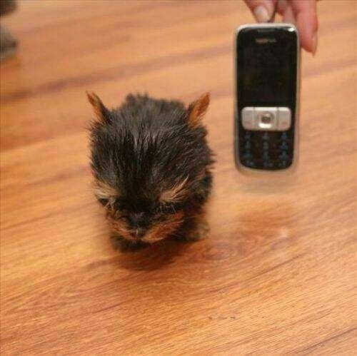 perro mas pequeño del mundo 3