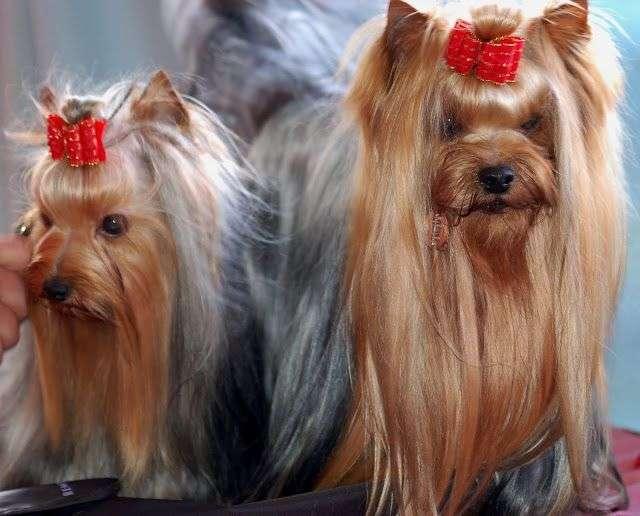 Fotos de 2 YorkShire Terrier