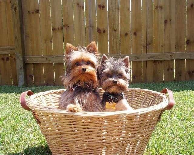 Fotos de 2 cachorros de YorkShire Terrier