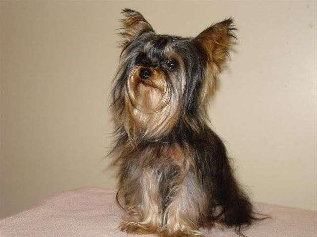 Fotos de YorkShire Terrier 2