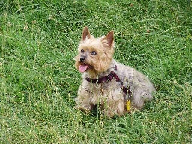 Fotos de YorkShire Terrier 3