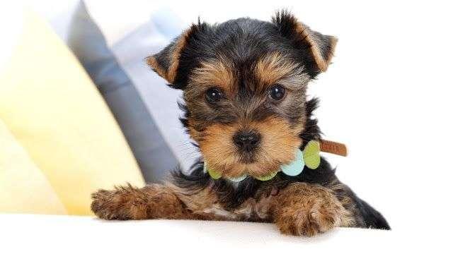 Fotos de YorkShire Terrier 5