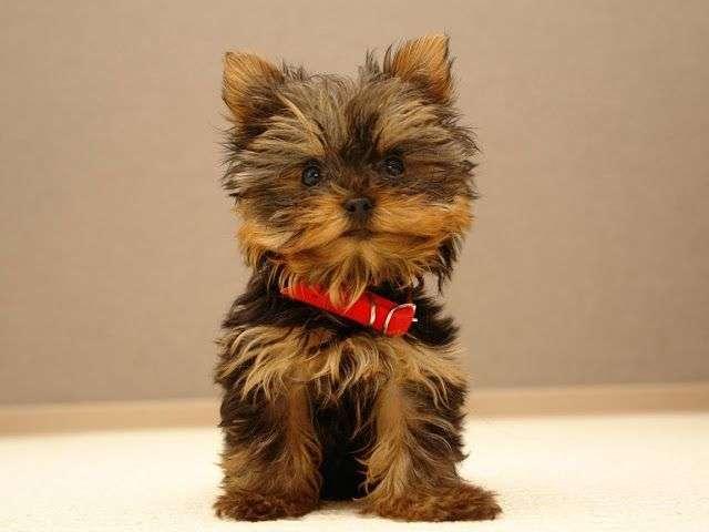 Fotos de cachorro YorkShire Terrier
