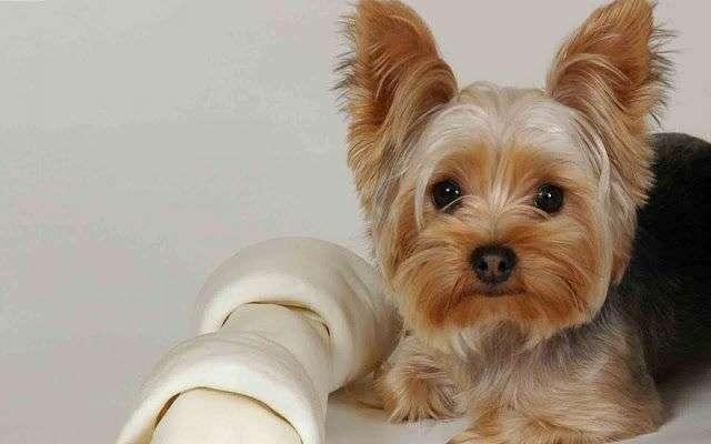 Fotos de gracioso YorkShire Terrier