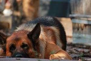 tn_Qué es la Leishmaniasis canina