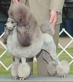 250px-Silver_Miniature_Poodle_stacked