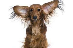 Cómo prevenir y curar la otitis en tu perro