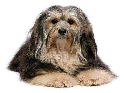 15546135-nette-liegende-tricolor-havanese-hund-auf-kamera-isoliert-auf-einem-weissen-hintergrund
