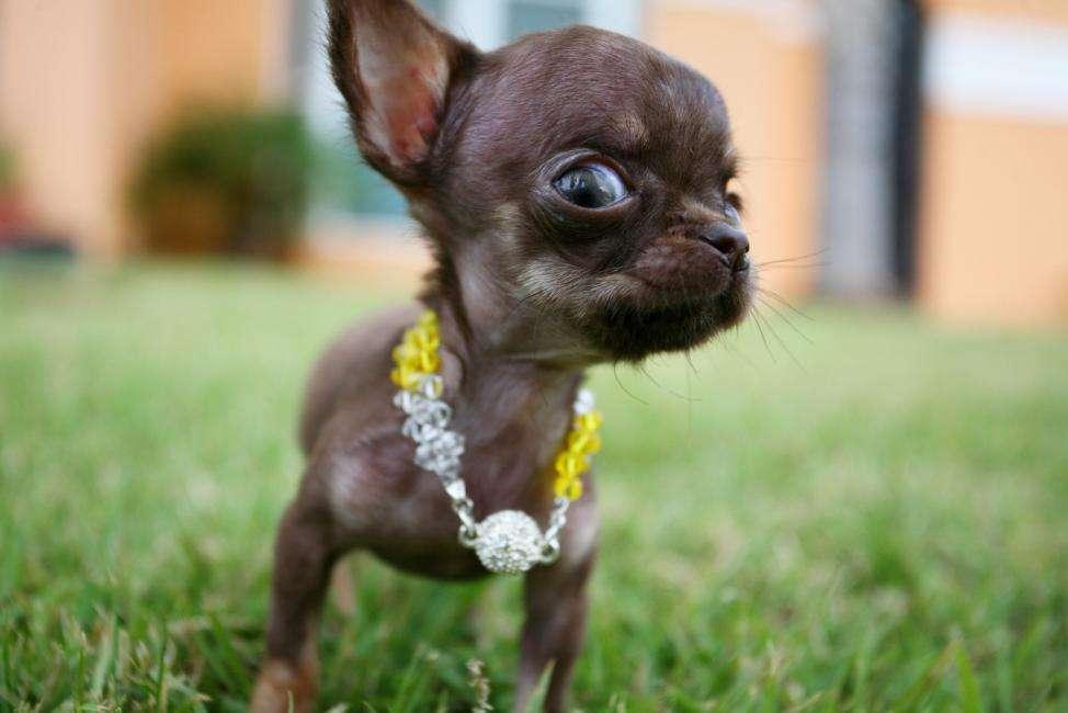 Cómo Es Un Chihuahua Perros