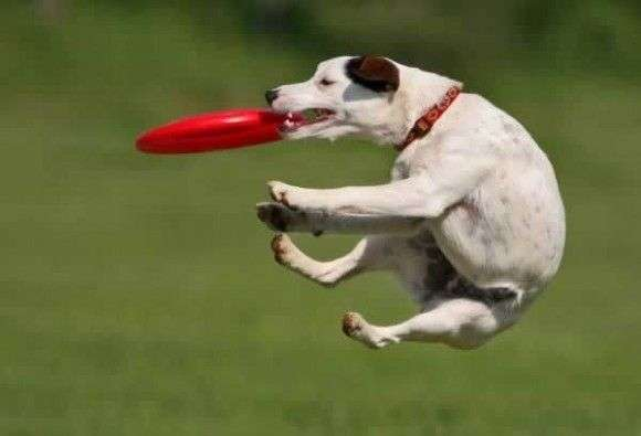 dog-picture-photo-catches-frisbee-jump-580×395