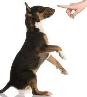 naughty dog – bull terrier – nine months old
