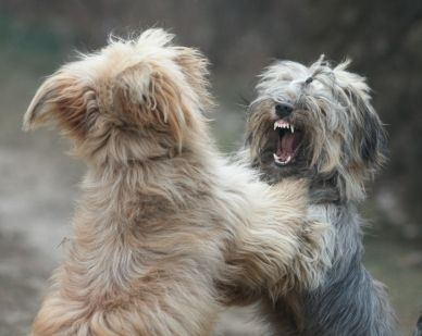 two dogs playing and showing teeth, separated from background
