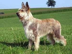 raza de perro Berger de Picardie 1