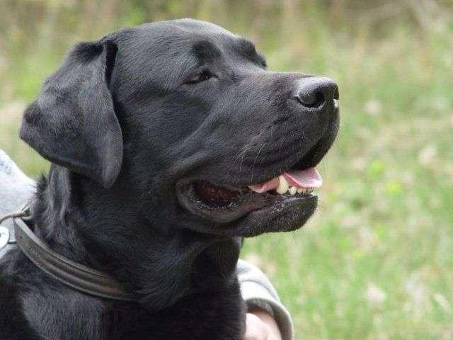 Labrador_retriever_bulaj1