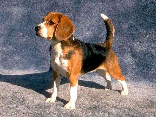 beagle-11 (1)