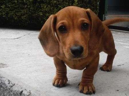 perro-salchicha-Los-perros-Salchicha
