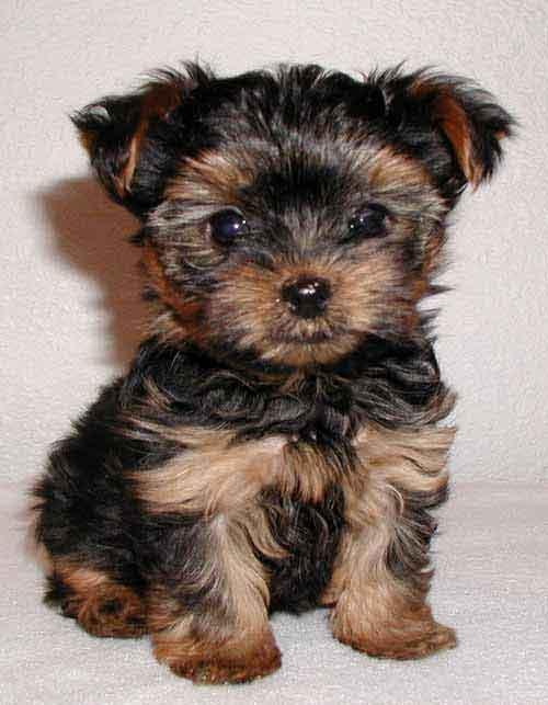 yorkshire_terrier cachorro 1