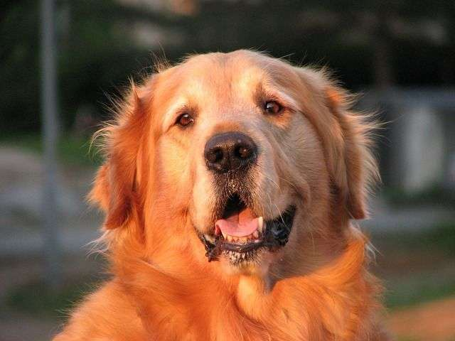 golden-retriever-86030_640