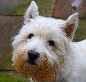 West Higtland White Terrier  descripción física
