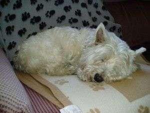 West Highland White Terrier ¿ cual es su carácter?