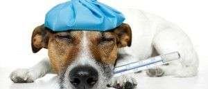 Qué hacer si crees que tu perro tiene fiebre