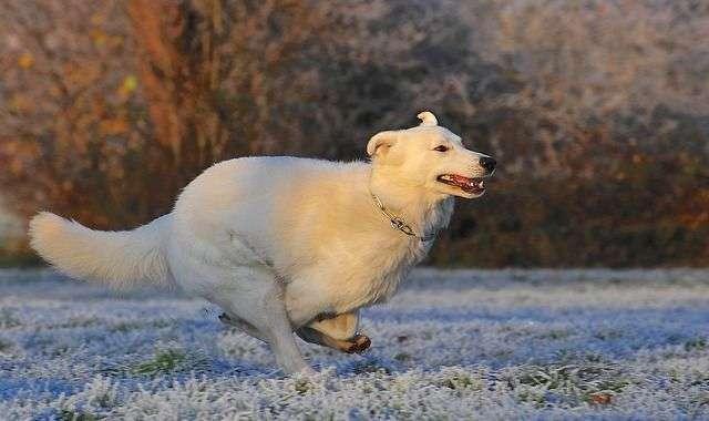 swiss-shepherd-dog-354536_640