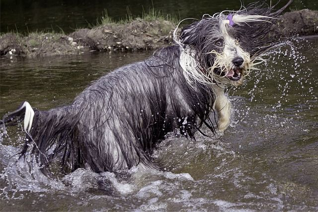 bearded-collie-820746_640