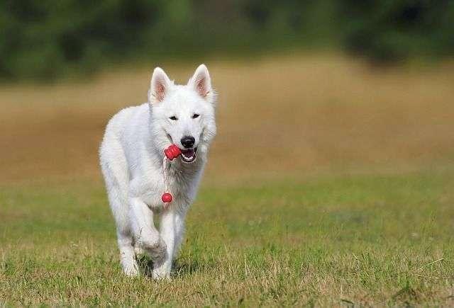 swiss-shepherd-dog-354526_640