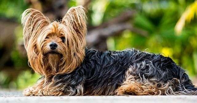 yorkshire-terrier-361730_640